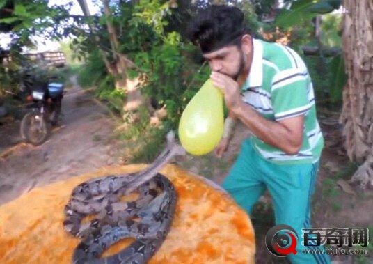 巴西男子冒险吹气球挑逗两条蟒蛇