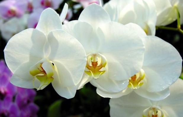 世界上最香的花香气可传5公里